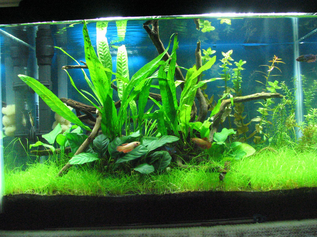 how to setup a low tech planted tank a guide for planted aquariums welcome to sudeep mandal 39 s. Black Bedroom Furniture Sets. Home Design Ideas